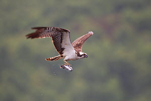 Osprey (Pandion haliaeetus) fishing at dawn, flying to nest with fish, Cairngorms NP, Highland, Scotland, UK, July - Peter Cairns / 2020VISION