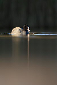 Coot (Fulica atra) on water in evening light, Fife, Scotland, UK, November  -  Peter Cairns / 2020VISION