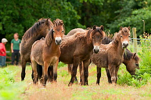 Group of Exmoor ponies {Equus caballus}, released at Street Heath (Somerset Wildlife Trust) Nature Reserve, for conservation grazing, Somerset Levels, Somerset, UK. June 2011. Did you know? These poni... - Ross Hoddinott / 2020VISION