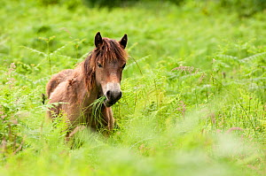 Exmoor pony {Equus caballus} grazing, released at Street Heath (Somerset Wildlife Trust) Nature Reserve, for conservation grazing, Somerset Levels, Somerset, UK. June 2011. - Ross Hoddinott / 2020VISION