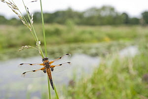 Four-spotted chaser {Libellula quadrimaculata} dragonfly resting on grass in wetland habitat, Shapwick Nature Reserve, Somerset Levels, UK. June 2011. 2020VISION Book Plate.  -  Ross Hoddinott / 2020VISION