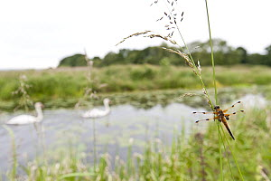 Four-spotted chaser {Libellula quadrimaculata} dragonfly resting on grass in wetland habitat with swans in the background, Shapwick Nature Reserve, Somerset Levels, UK. June  -  Ross Hoddinott / 2020VISION