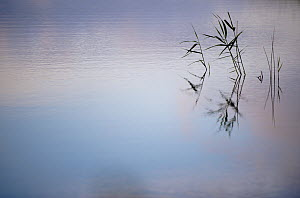 Common reeds {Phragmites communis}, reflected in water, Ham Wall (RSPB) Nature Reserve, Somerset Levels, UK. June  -  Ross Hoddinott / 2020VISION