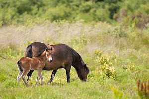Exmoor pony and foal {Equus caballus}, released at Westhay (Somerset Wildlife Trust) Nature Reserve, for conservation grazing, Somerset Levels, Somerset, UK. June 2011. Did you know? Conservation graz... - Ross Hoddinott / 2020VISION