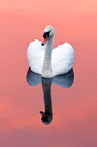 Mute swan {Cygnus olor} on water with reflection, Shapwick Heath (Somerset Wildlife Trust) Nature Reserve, Somerset Levels, Somerset, UK. March - Ross Hoddinott / 2020VISION