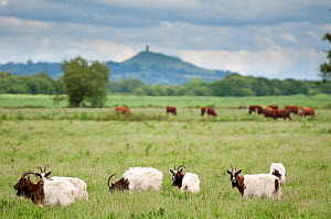Goats and Cattle grazing on farmland at Shapwick Heath (Somerset Wildlife Trust) Nature Reserve, with Glastonbury Tor in the distance, Somerset Levels, Somerset, UK. June 2011.  -  Ross Hoddinott / 2020VISION