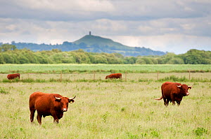 Cattle grazing on farmland at Shapwick Heath (Somerset Wildlife Trust) Nature Reserve, with Glastonbury Tor in the distance, Somerset Levels, Somerset, UK. June 2011.  -  Ross Hoddinott / 2020VISION