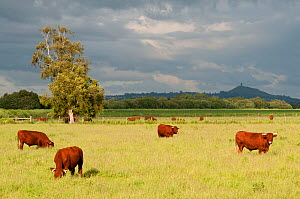 Cattle grazing on farmland at Shapwick Heath (Somerset Wildlife Trust) Nature Reserve, with Glastonbury Tor in the distance, Somerset Levels, Somerset, UK, June 2011. Did you know?  Aurochsen, a hardy... - Ross Hoddinott / 2020VISION