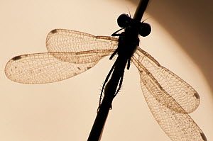 Emerald damselfly {Lestes sponsa}, silhouette against water, Arne (RSPB) Nature Reserve, Dorset, UK. September. Did you know? RSPB Arne is a diverse habitat for insects, birds, plants and mammals, and...  -  Ross Hoddinott / 2020VISION