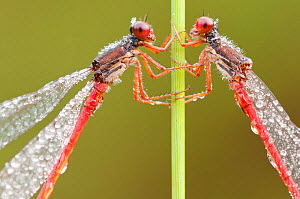 RF- Two Small red damselflies (Ceriagrion tenellum) covered in morning dew. Arne (RSPB) Nature Reserve, Dorset, UK. August . (This image may be licensed either as rights managed or royalty free.) - Ross  Hoddinott / 2020VISION
