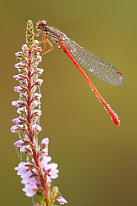 Small red damselfly {Ceriagrion tenellum} resting on willow herb flower spike, covered in morning dew, Arne (RSPB) Nature Reserve, Dorset, UK. August  -  Ross Hoddinott / 2020VISION