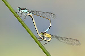 Common blue damselfly {Enallagma cyathigerum}, mating pair, Little Bradley Ponds, Devon, UK. July - Ross Hoddinott / 2020VISION