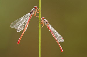 Small red damselflies {Ceriagrion tenellum} covered in morning dew, Arne (RSPB) Nature Reserve, Dorset, UK. August. Did you know? Male red damselflies have a red abdomen (not surprisingly), females ar...  -  Ross Hoddinott / 2020VISION