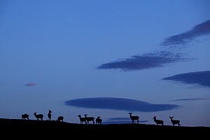 Silhouette of herd of female Red deer (Cervus elaphus) on ridge at dawn, RSPB Forsinard Flows, Flow country, Caithness, Highland, Scotland, UK, June 2011. Did you know? Red deer are essentially forest...  -  Peter Cairns / 2020VISION