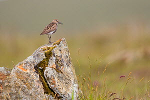 Dunlin (Calidris alpina) in breeding plumage, Outer Hebrides, Scotland, UK, July  -  Peter Cairns / 2020VISION