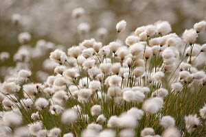 Harestail cottongrass (Eriophorum vaginatum) in flower, Flow Country, Forsinard, Caithness, Highland, Scotland, UK, May - Peter Cairns / 2020VISION