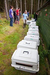 Shipping crates containing White tailed sea eagle chicks (Haliaeetus albicilla) part of the East Scotland Sea Eagle reintroduction project, Fife, Scotland, UK, June 2011.  -  Peter Cairns / 2020VISION
