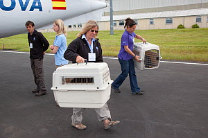 Shipping crates of Norwegian White tailed sea eagle chicks (Haliaeetus albicilla) carried from airplane at Edinburgh airport, part of the East Scotland Sea Eagle reintroduction project, Fife, Scotland...  -  Peter Cairns / 2020VISION