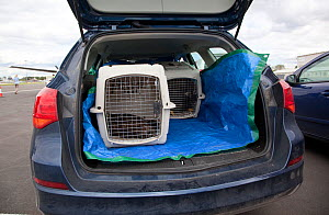Shipping crates containing newly imported Norwegian White tailed sea eagle chicks (Haliaeetus albicilla) loaded into a car at Edinburgh airport, part of the East Scotland Sea Eagle reintroduction proj...  -  Peter Cairns / 2020VISION