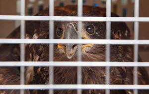 Shipping crate containing newly imported Norwegian White tailed sea eagle chick (Haliaeetus albicilla), part of the East Scotland Sea Eagle reintroduction project, Fife, Scotland, UK, June 2011  -  Peter Cairns / 2020VISION