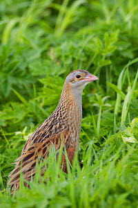 Corncrake (Crex crex) amongst grass, Balranald RSPB reserve, North Uist, Western Isles / Outer Hebrides, Scotland, UK, May  -  Peter Cairns / 2020VISION