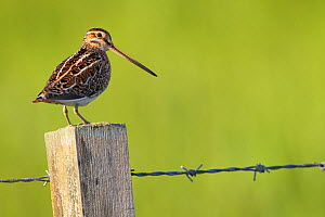 Snipe (Gallinago gallinago) perched on fencepost, RSPB Balranald nature reserve, North Uist, Western Isles / Outer Hebrides, Scotland, UK, May. Did you know? The tip of a snipe�s beak contains nerve e... - Peter Cairns / 2020VISION