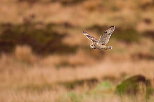 Short-eared owl (Asio flammeus) flying over moorland, North Uist, Western Isles / Outer Hebrides, Scotland, UK, May  -  Peter Cairns / 2020VISION