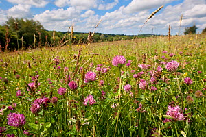 Red clover {Trifolium pratense} flowering growing in hay meadow at Denmark Farm, Lampeter, Wales, UK. June 2011.  -  Ross Hoddinott / 2020VISION