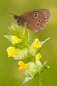 Ringlet butterfly {Aphantopus hyperantus} resting on yellow rattle flowers, Denmark Farm, Lampeter, Wales, UK. June  -  Ross Hoddinott / 2020VISION