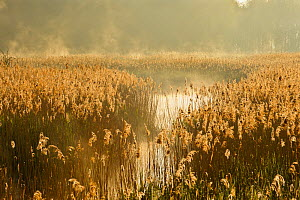 Reedbeds (Phragmites australis) at sunrise, Lakenheath Fen RSPB Reserve, Suffolk, UK, May. 2020VISION Book Plate.  -  Terry Whittaker / 2020VISION