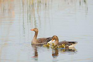 Greylag goose (Anser anser), pair on water with goslings, Lakenheath Fen RSPB Reserve, Suffolk, UK, May - Terry Whittaker / 2020VISION