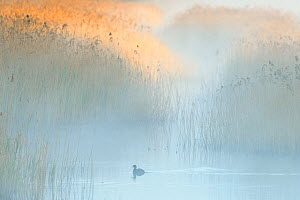Reedbeds at dawn with Coot (Fulica atra) in mist, Lakenheath Fen RSPB Reserve, Suffolk, UK, May. 2020VISION Book Plate.  -  Terry Whittaker / 2020VISION
