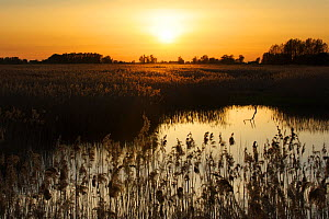 Reed beds (Phragmites sp), Joist Fen at sunset, Lakenheath Fen RSPB Reserve, Suffolk, UK, May  -  Terry Whittaker / 2020VISION