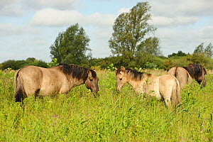 Konik horse (Equus caballus) stallion and juvenile on Wicken Fen, Cambridgeshire, UK, June 2011 - Terry Whittaker / 2020VISION