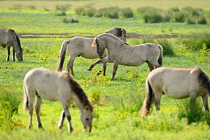 Konik horse (Equus caballus) herd grazing with two stallions interacting, Wicken Fen, Cambridgeshire, UK, June 2011 - Terry Whittaker / 2020VISION