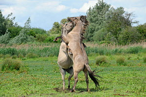 Konik horse (Equus caballus) two stallions fighting, Wicken Fen, Cambridgeshire, UK, June - Terry Whittaker / 2020VISION