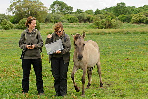 Konik horse (Equus caballus) young colt, Wicken Fen, Cambridgeshire, UK, June 2011. Grazing Warden Carol Laidlaw and Volunteer Maddy Downes conduct a daily behavioural study of the konik herd. Model R... - Terry Whittaker / 2020VISION