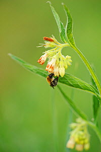 Bee visiting flower of Common Comfrey (Symphytum officinale) on managed grassland, Wicken Fen, Cambridgeshire, UK, June - Terry Whittaker / 2020VISION