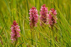 Southern-marsh orchids (Dactylorhiza praetermissa) Wicken Fen, Cambridgeshire, UK, June  -  Terry Whittaker / 2020VISION