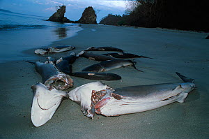 Sharks finned alive and thrown overboard to drown and wash up on beach. Costa Rica, Pacific Ocean. - Jeff Rotman