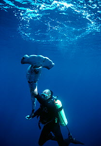 Diver holding a Scalloped Hammerhead (Sphyrna lewini), finned alive, thrown overboard to drown. Cocos Island, Costa Rica, Pacific Ocean.  -  Jeff Rotman