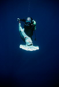 Diver holding a Scalloped Hammerhead (Sphyrna lewini), finned alive, thrown overboard to drown. Cocos Island, Costa Rica, Pacific Ocean. Model released.  -  Jeff Rotman