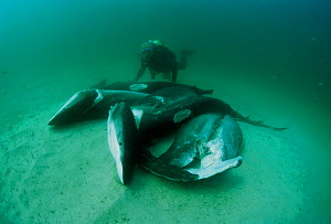 Diver examining sharks finned alive and thrown overboard. Costa Rica, Pacific Ocean. Model released.  -  Jeff Rotman
