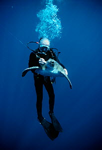 Diver removing the hook from Hawksbill turtle (Eretmochelys imbricata) hooked on long line. Cocos Island, Costa Rica, Pacific Ocean. Model released.  -  Jeff Rotman