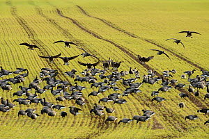 Flock of Dark-bellied brent geese (Branta bernicla bernicla) feeding on crops, South Swale, Kent, UK, December - Terry Whittaker / 2020VISION