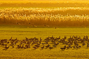 Flock of Dark-bellied brent geese (Branta bernicla bernicla) feeding on crops at dusk, South Swale, Kent, UK, December - Terry Whittaker / 2020VISION