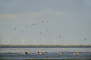 Flock of Dark-bellied brent geese (Branta bernicla bernicla) feeding on and flying over mudflats, South Swale, Kent, UK, with Kentish Flats offshore wind farm in background, October 2010 - Terry Whittaker / 2020VISION
