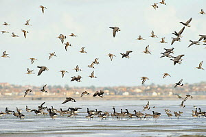 Mixed flock of Dark-bellied brent geese (Branta bernicla bernicla) and Black-tailed godwit (Limnosa limosa) South Swale Nature Reserve, Kent, UK, with Whitstable in background, October 2010  -  Terry Whittaker / 2020VISION