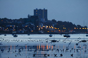 Mixed flock of Dark-bellied brent geese (Branta bernicla) and other waterfowl on mudflats at dawn with town in background, Leigh-on-Sea, Essex, UK, October 2010  -  Terry Whittaker / 2020VISION
