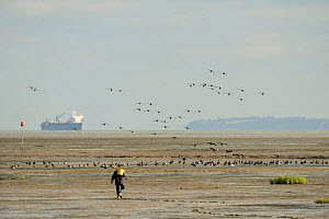 Flock of Dark-bellied brent geese (Branta bernicla bernicla) with man digging bait in foreground and Thames shipping in background, Leigh-on-Sea, Essex, UK, October 2010  -  Terry Whittaker / 2020VISION